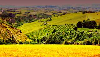Geurige Pecorino uit Marche