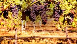 Levendige Pinot Noir